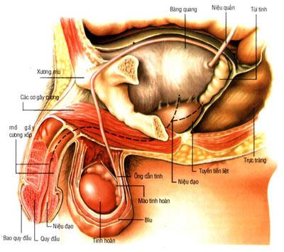 Hình ảnh tuyến tiền liệt
