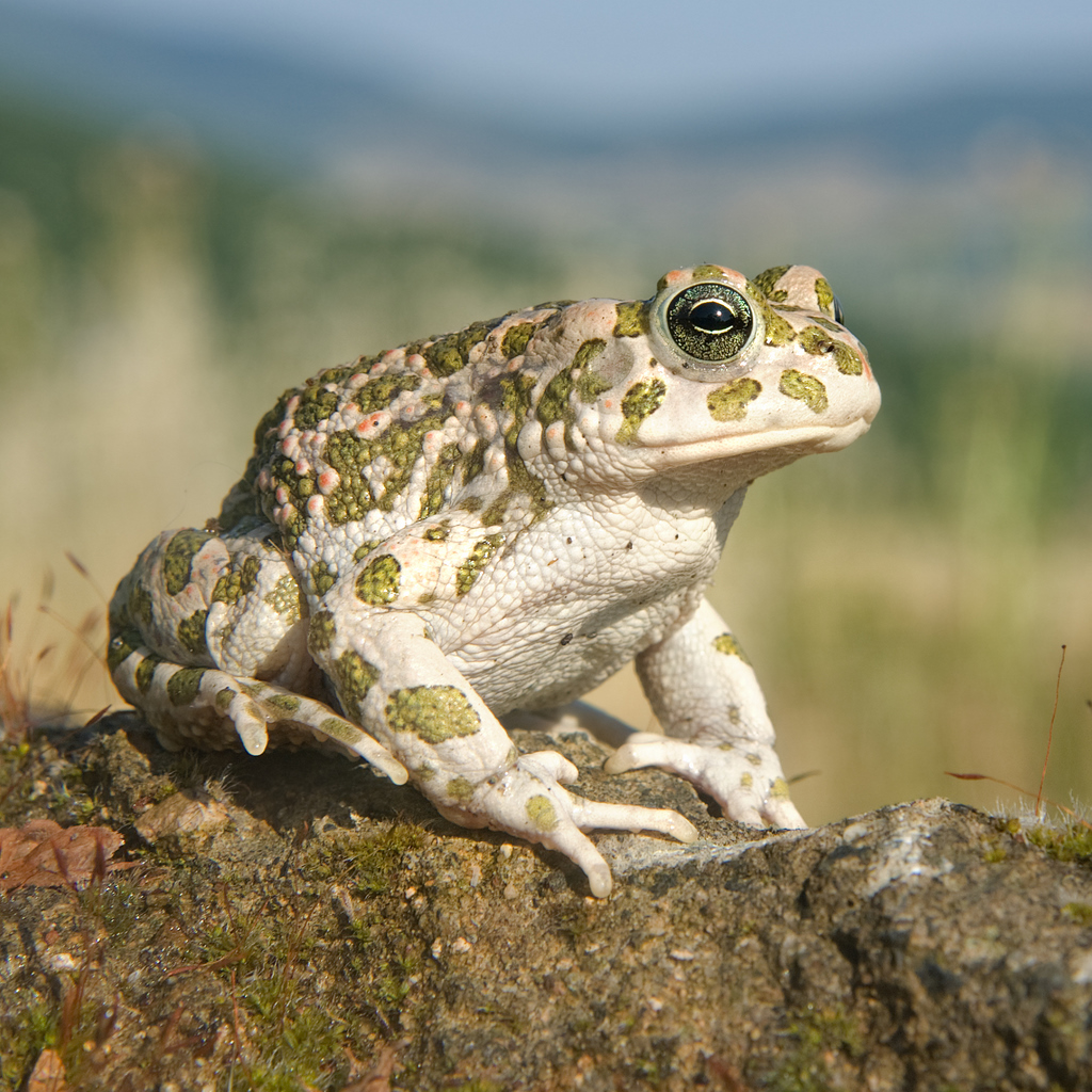 Bufo viridis female quadrat