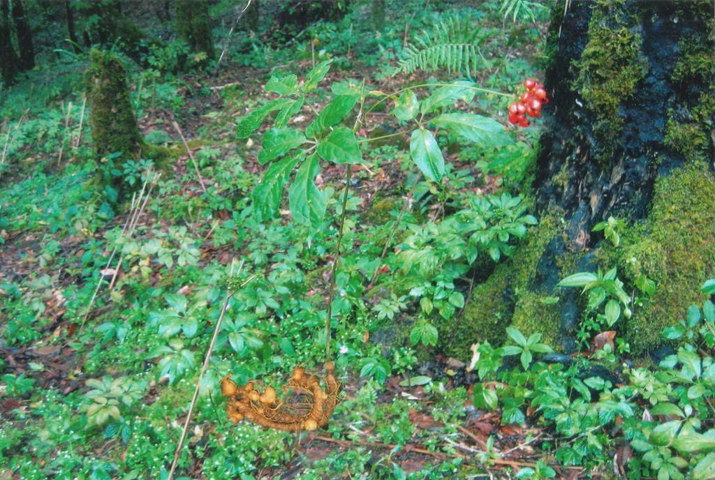 Củ cây lá và chùm quả cây nhân sâm Ngọc Linh hoang dại