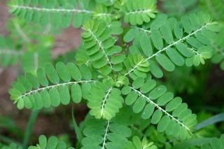 Diệp Hạ Châu - Phyllanthus